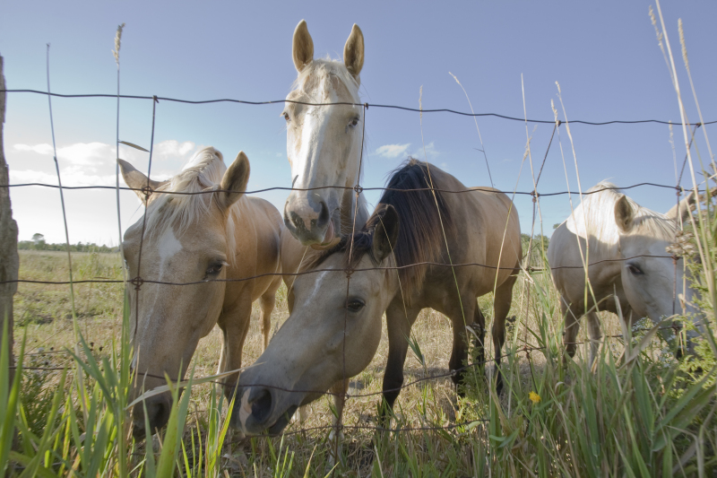MANITOULIN-ISLAND-Horses_MG_6322